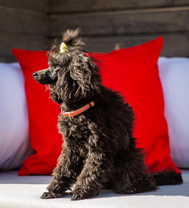 koirakuvaus koiravalokuvaus eläinkuvaus koiravalokuvaaja kuvausohje koirakakku huawei sokerimassa-4