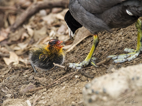 _MG_3024 7D Tamron 150-600mm G2 American Coot Adult and Chick