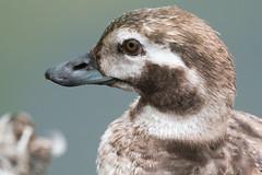 DSC_6809.jpg Long-tailed Duck, San Lorenzo River