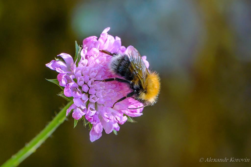 Shaggy bumblebee gathers nectar
