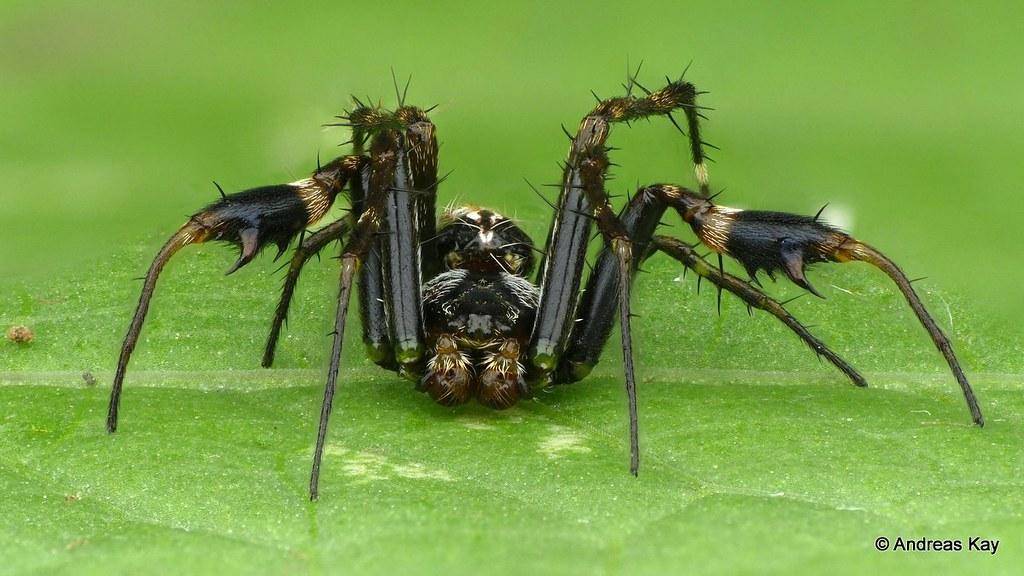 Orb weaver spider, Alpaida truncata, male
