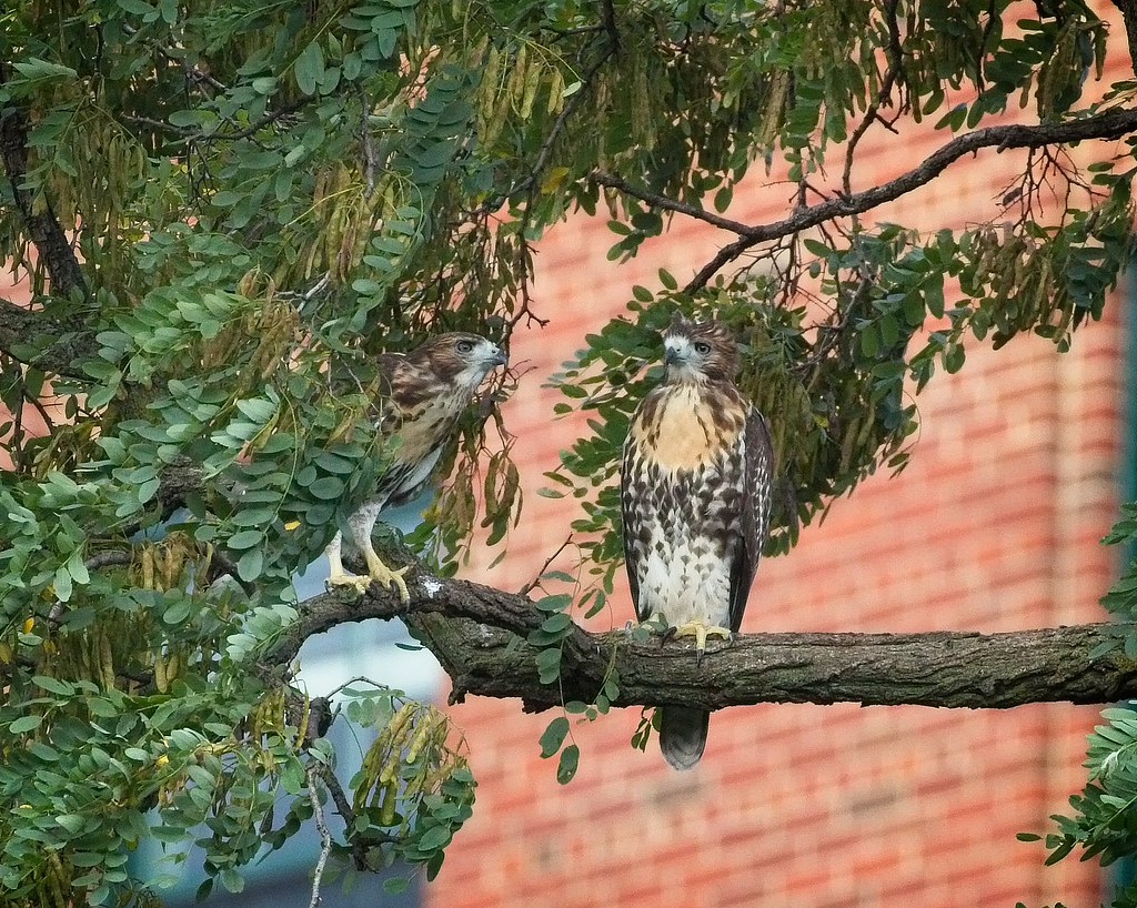 Tompkins red-tail fledglings #2 and #1