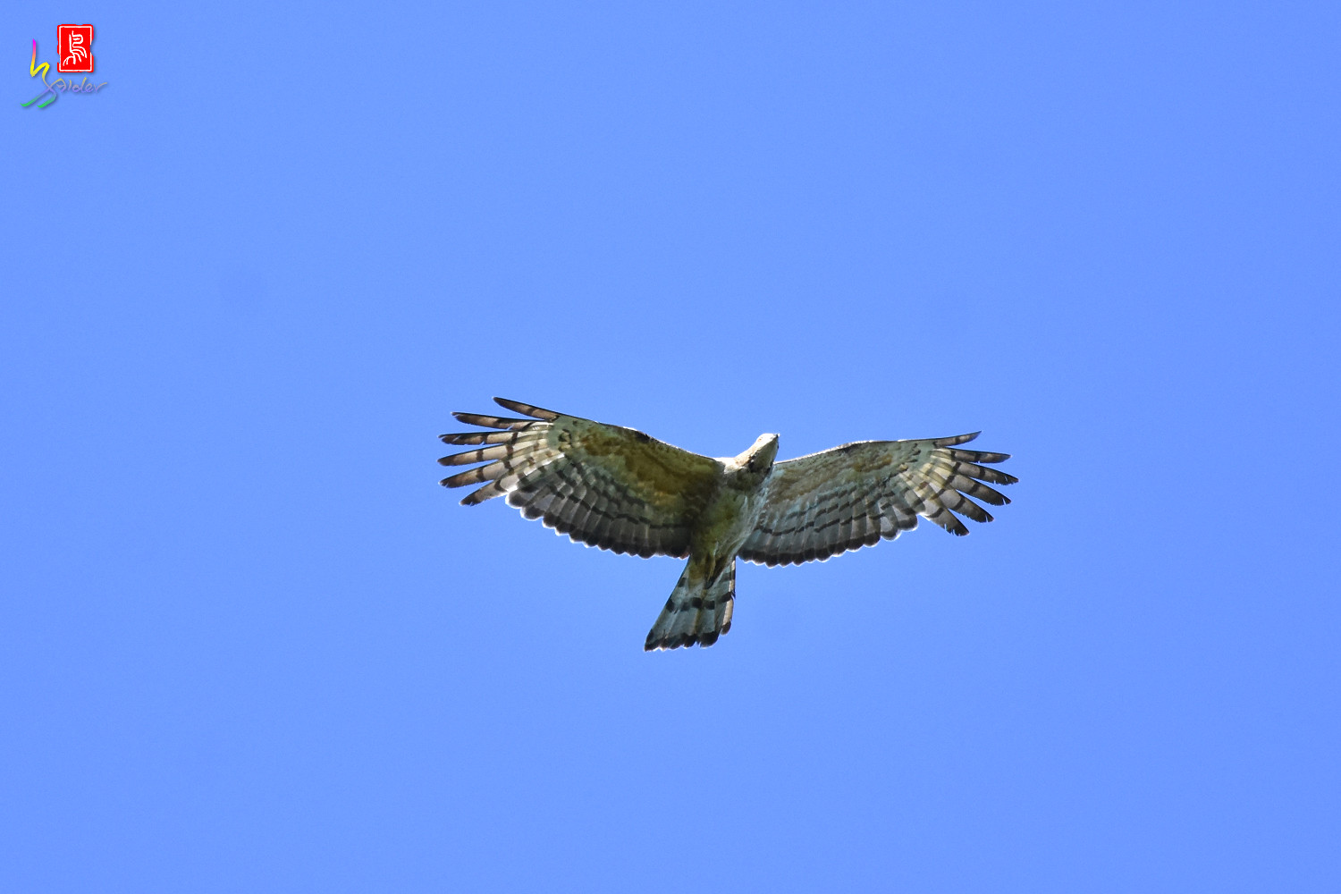 Honey_Buzzard_0220