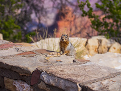 USA - Arizona - Grand Canyon National Park squirrel