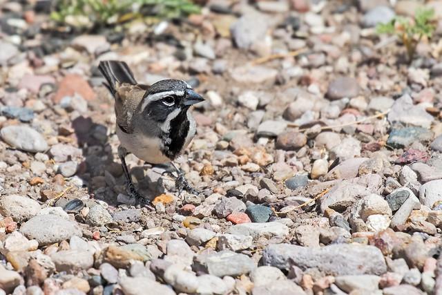 Black-throated-Sparrow-10-7D2-041718
