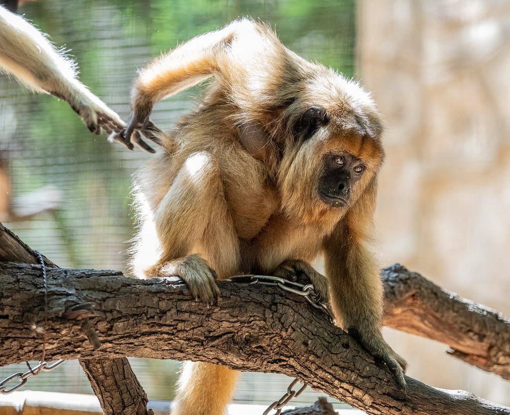 Howler Monkey_5