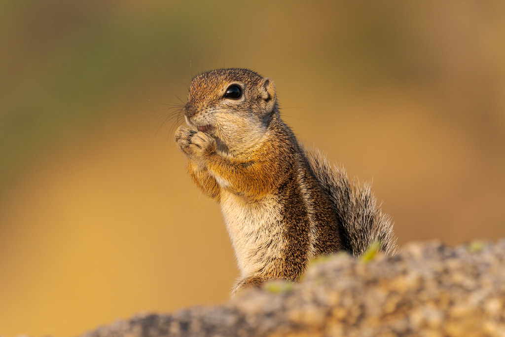 A Harris's antelope squirrel holds its hands below its face and appears to be smiling when it is in fact finishing eating saguaro fruit