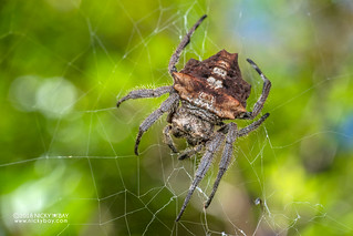 Broad-headed bark spider (Caerostris extrusa) - DSC_7392