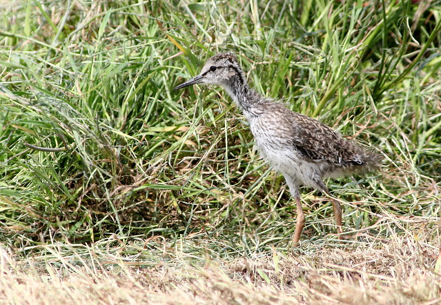 Baby Redshank, Canon EOS 70D, Canon EF 300mm f/4L IS