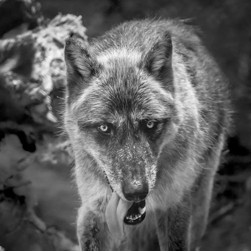 Gray Wolf, Rochester Zoo, summer 2018