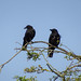 Two carrion-crows, 2018 Jul 19