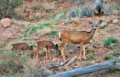 Mule Deer mama and fawns