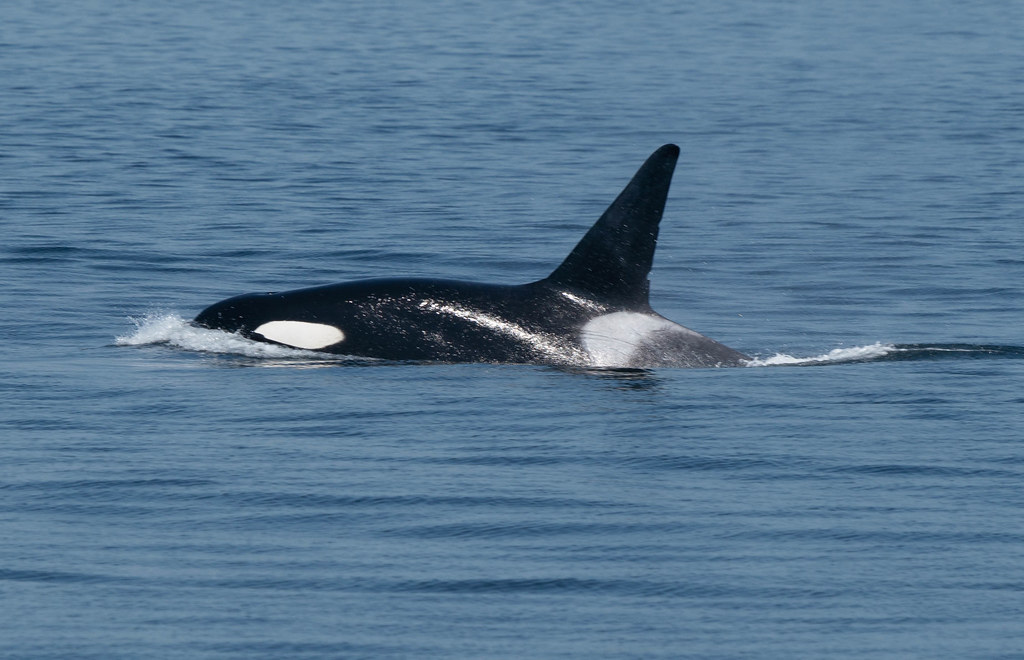 Orca 3 (1 of 1)