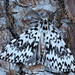 Black Arches ( Lymantria monacha) ♂.