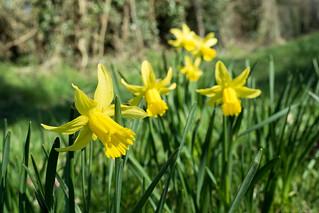 20180326-08_Daffodils - Cawston Rugby
