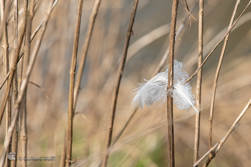 Feather of a heron