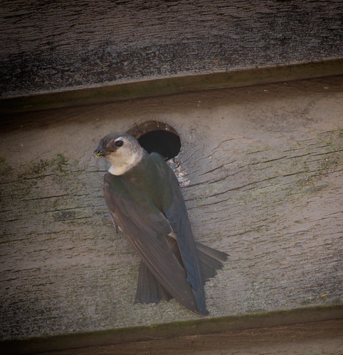 Adult Violet-Green Swallow bringing food to her nest for the babies.