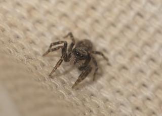 Pseudeuophrys lanigera (Jumping spider)