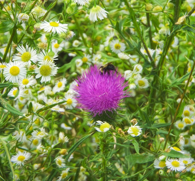 The thistle bee