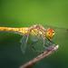 Libelle by Hubert Demming
