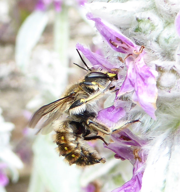 Male wool carder bee