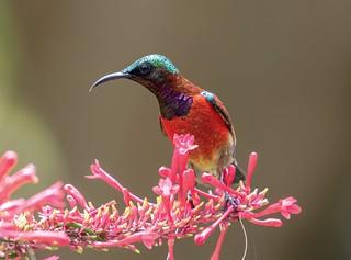 Purple-throated sunbird (Leptocoma sperata). Bohol, Philippines