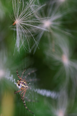 Epeire et plumet / Spider and plume