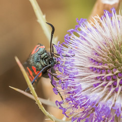 HolderBurnet Moth