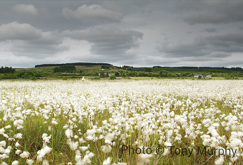 Cornameeltha Bog Cotton Blowing in the Wind copy