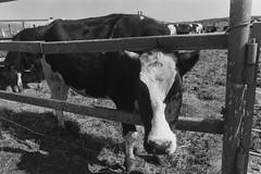 «Moo-Moo or On a cow farm»