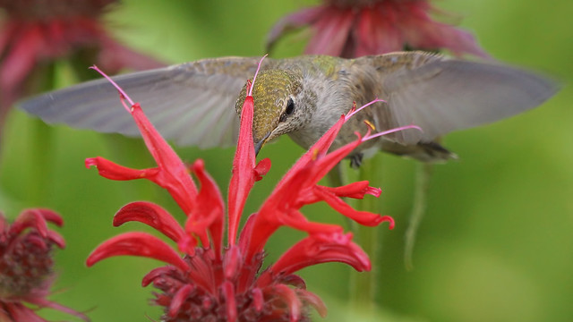 Hummingbird, Sony SLT-A77V, 70-400mm F4-5.6 G SSM