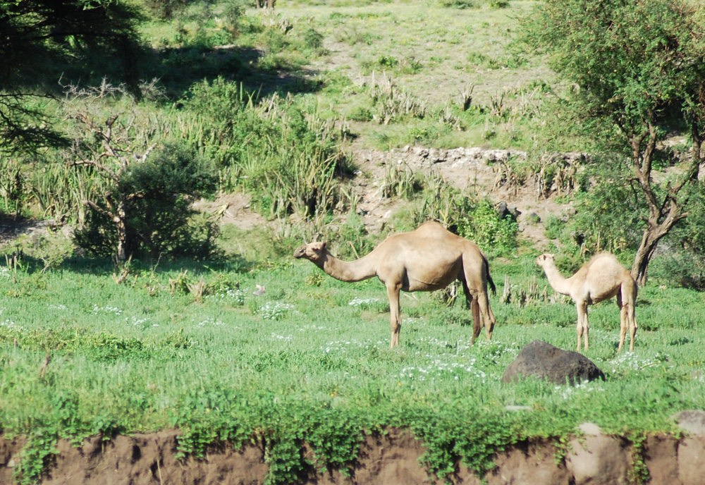 camels-masai-tanzania
