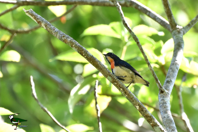 Fire-breasted_Flowerpecker_1343