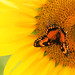 The butterfly and the sunflower by mara.arantes