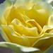 Yellow Rose Petals Center 2 of 2