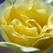 Yellow Rose Petals Center 2 of 2
