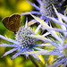 Speckled Wood on Blue Thistles