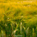 Fields of Barley by Rob Sutherland