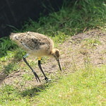 WE-GT-2018 Project Godwit chick YfN-WL(E)7