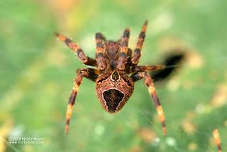 Orb weaver spider (cf. Neoscona sp.) - DSC_6855