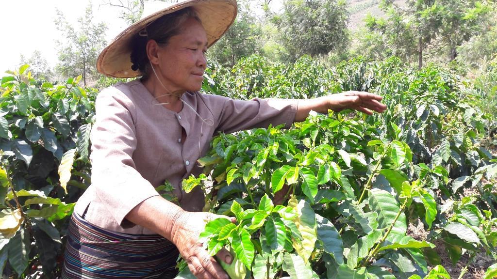 Kahvinviljelyä Shanissa 2017