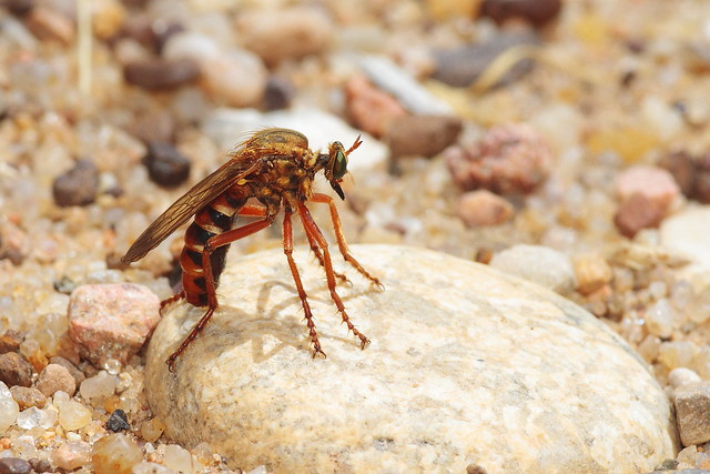 Robber Fly, Canon EOS 7D, Canon EF 200mm f/2.8L II