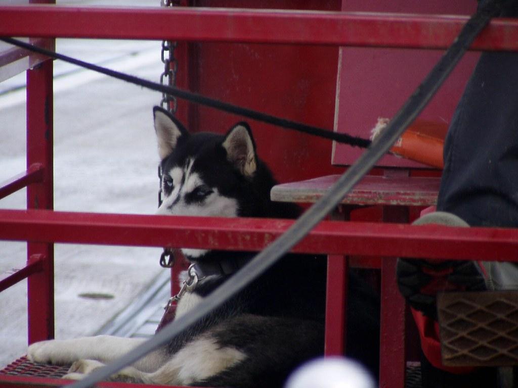 Siberian Husky, Ketchikan Alaska