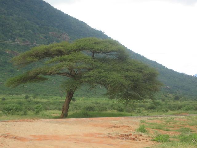 akazie ein typischer baum in tansania by aj82. Black Bedroom Furniture Sets. Home Design Ideas