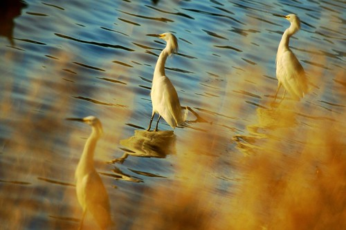 birds pond waterbirds egrets shorebirds