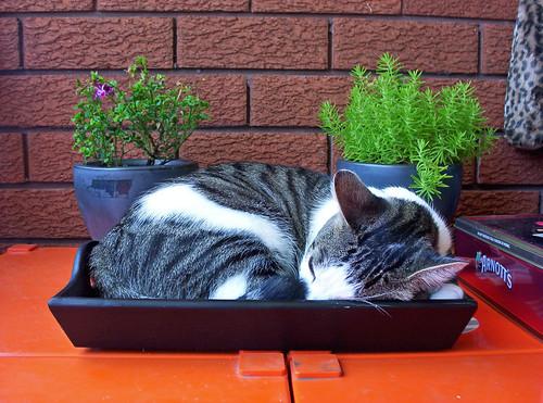 Coffee Tray Cat - 無料写真検索fotoq