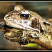 Common Frog by david_phil