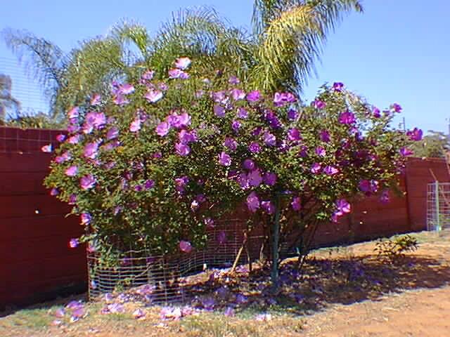 Blue Hibiscus Hc Wong Flickr