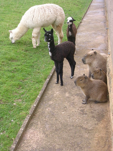 Alpaca and Capybara: both with young