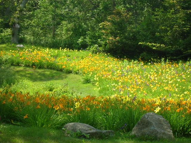 Field Of Tiger Lilies Field Of Tiger Lilies In Woods